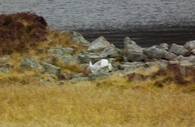 Mountain Hare by Loch Brandy